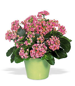 Flowers flower delivery send flowers online ashleys flowers pink kalanchoe mightylinksfo